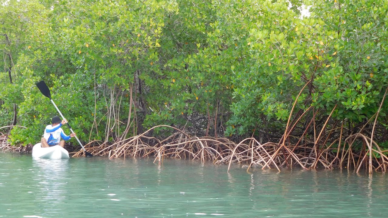 Mangrove forests could be gone by 2050 if sea levels continue to rise
