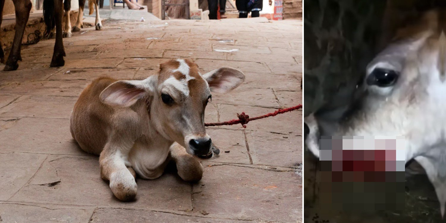 Pregnant cow sustains jaw injuries from firecrackers, miraculously gives birth to calf