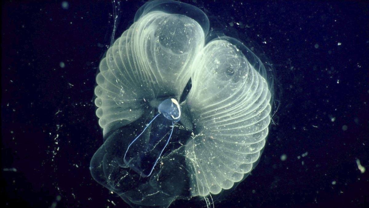 Scientists Study Sea Creature Which Makes a Home of Body Fluid