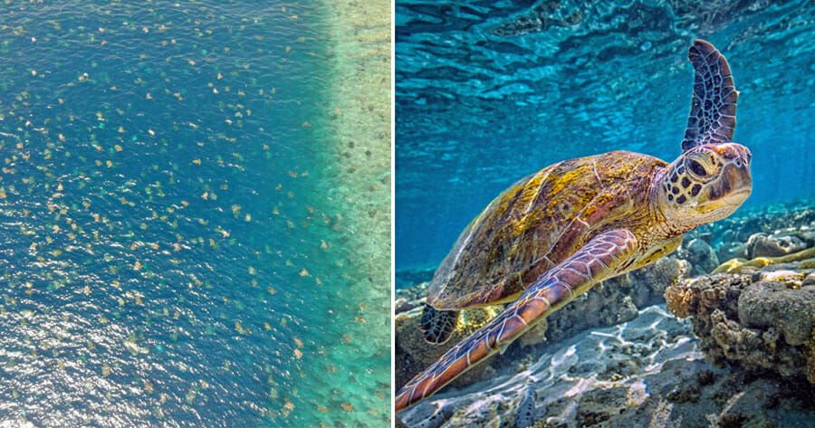 Drone Captures Beautiful Sight of 64,000 Endangered Green Turtles Heading to Australian Island