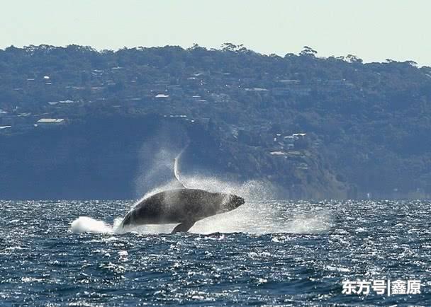 惊险!座头鲸跃身击浪撞上渔船,船上2人被抛飞坠海!
