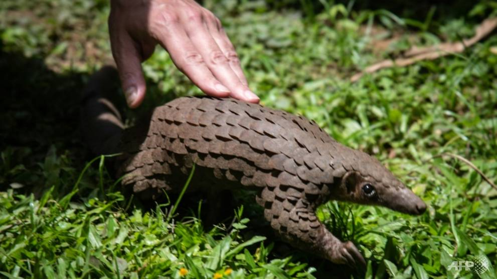 Wildlife activists welcome China's new pangolin protections