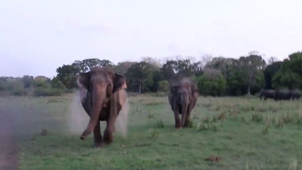 Two wild elephants filmed charging at safari jeep as terrified tourists flee