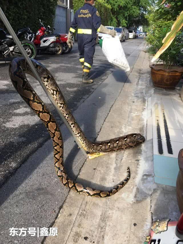 泰国男家中上厕所发现有蟒蛇,当场吓坏报警求助!