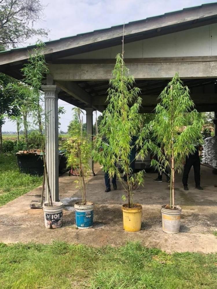 大麻竹子傻傻分不清楚!?男子住家种大麻树遭逮捕辩称:我以为种的是竹子!