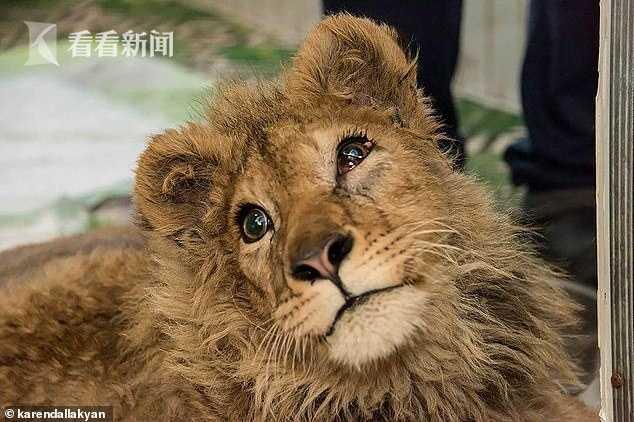 小狮子被故意打断腿以防逃跑 普京亲自下令调查