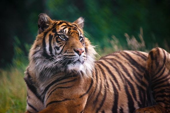Tiger faces life in cage after brutally killing three on 300-mile rampage
