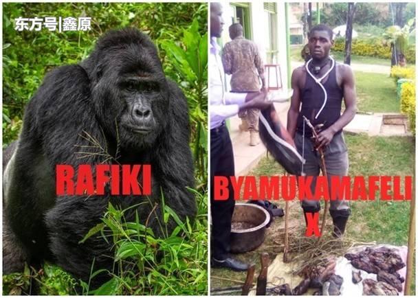 涉嫌猎杀濒危山地大猩猩,乌干达4人被捕面临终身监禁!