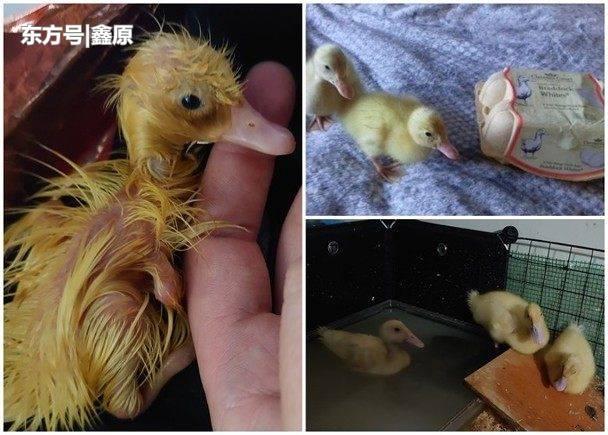 英国女从超市买鸭蛋回家,1个月后成功孵出3只小鸭!