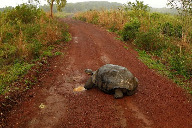 After saving their species, Giant galapagos tortoises head home