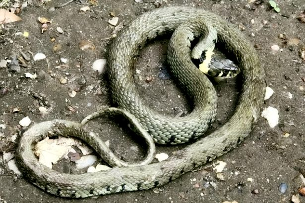 Dogwalker stunned as 3ft snake falls from the sky after being dropped by crow