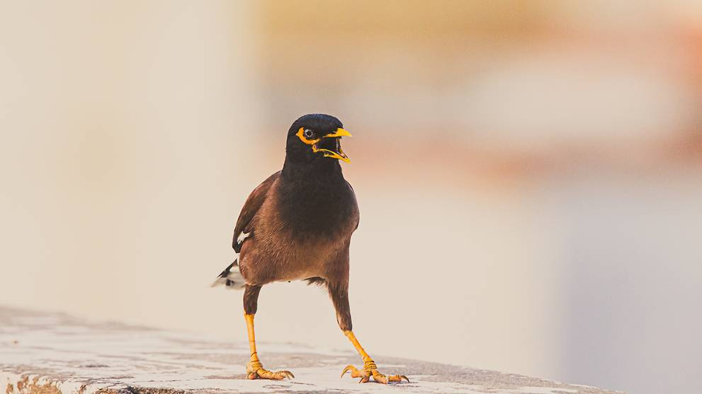 Commentary: Battling with the mynas who come into my home and won't leave