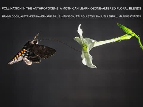 Air pollution renders flower odors unattractive to moths