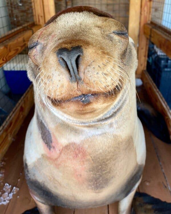 Brain Surgery for a 'Sweet Boy': Saving Cronutt the Sea Lion