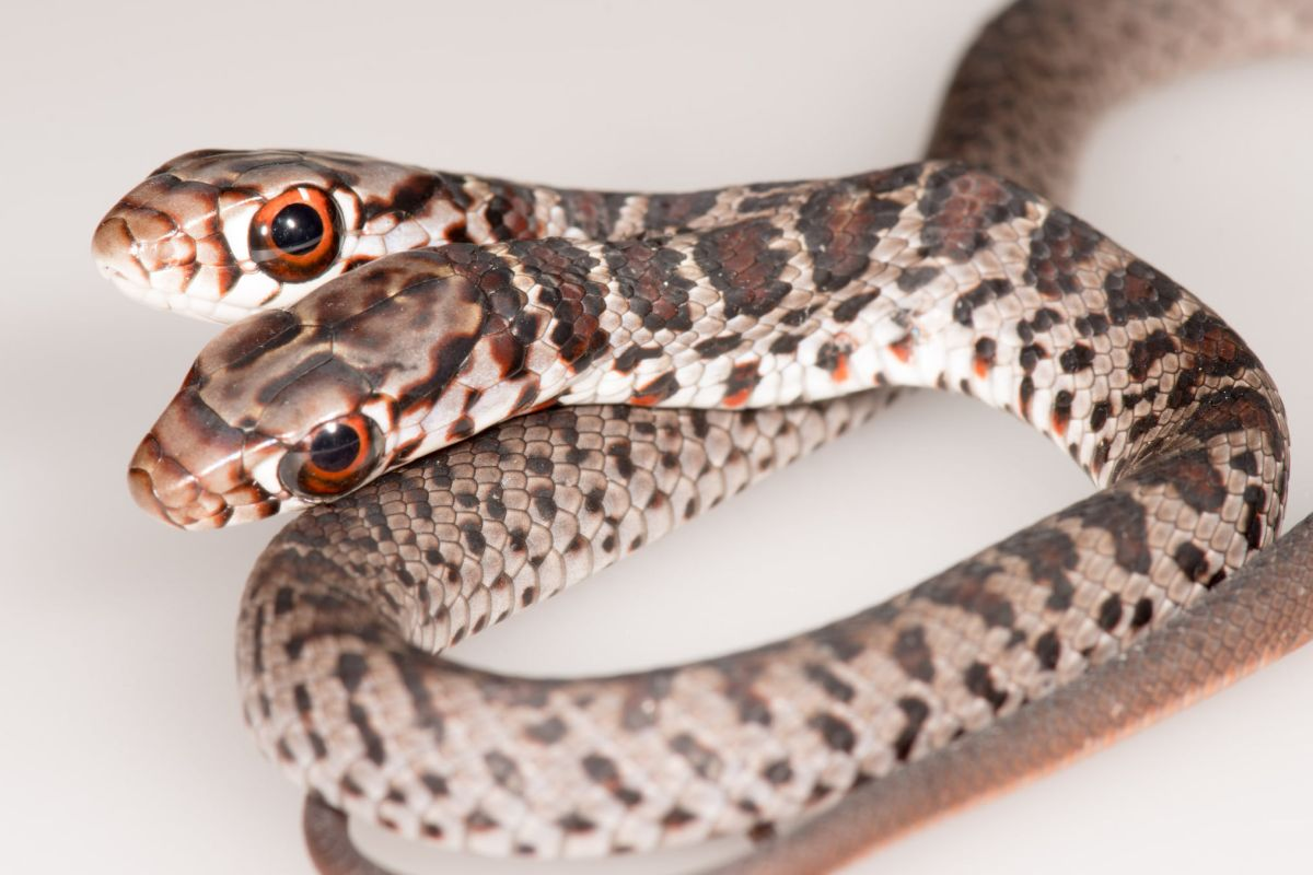 Rare, 2-headed snake discovered by Florida house cat
