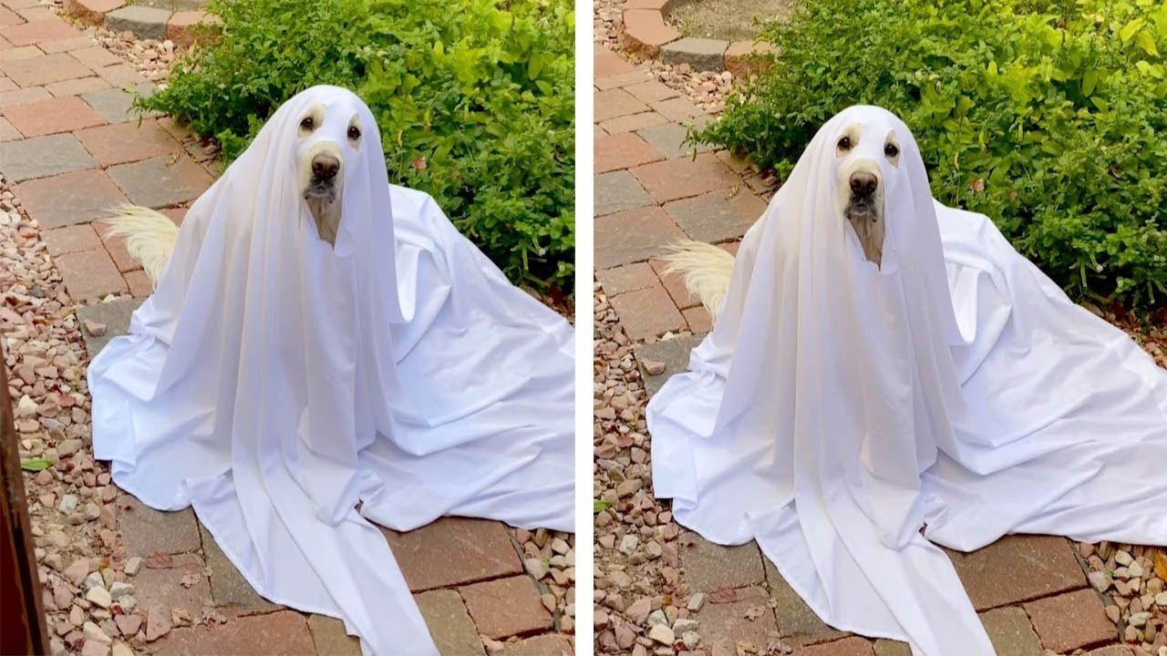 Adorable Golden Retriever Dresses Up As Ghost