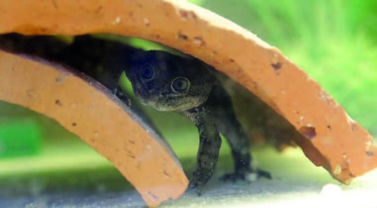 Chile celebrates successful breeding of endangered frog