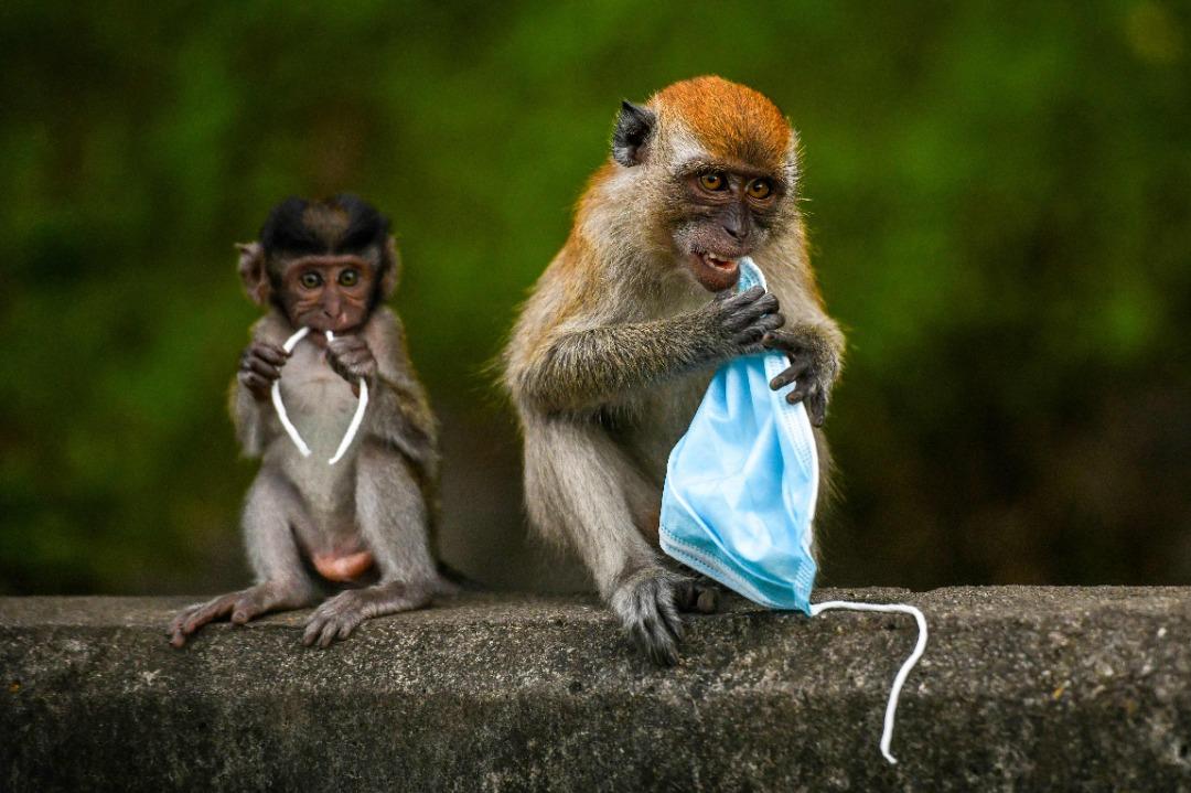 【心电图】猕猴吞口罩防新冠病毒?