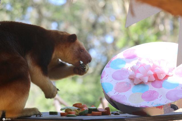 暖心!澳大利亚动物园为树袋鼠庆祝15岁生日