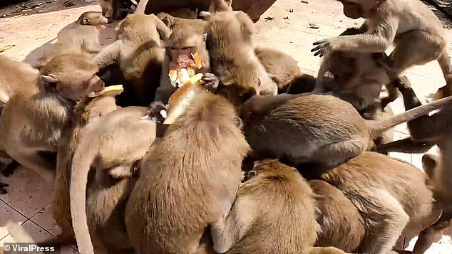 Food fight! Moment hungry monkeys swarm over a box of bread in Thai city where thousands of macaques run riot
