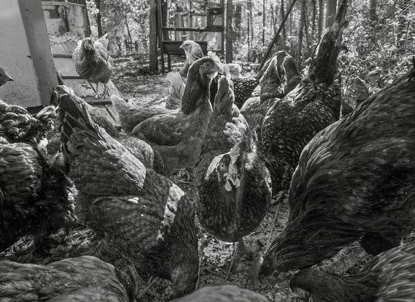 How Caring for Backyard Chickens Stretched My Emotional Muscles