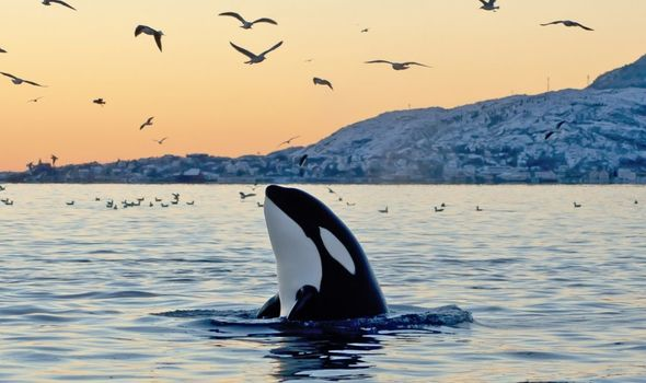 Killer whale discovery: Humans inadvertently killing orcas - study