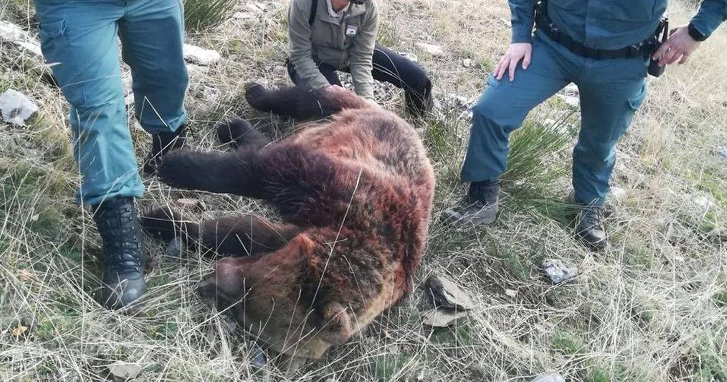 Heartbreak as brown bears are shot dead by hunters in Spain