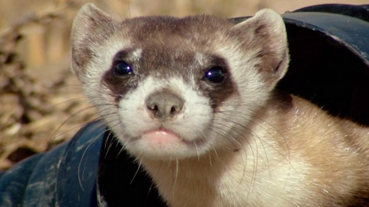 Baby Ferret Training School   Nature's Miracle Babies   BBC Earth