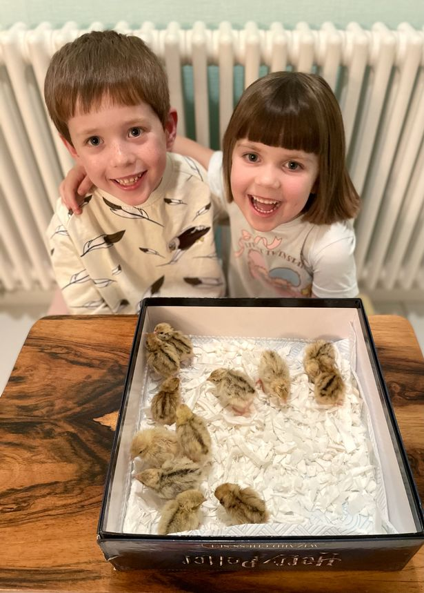 Brother and sister hatch 12 chicks from box of Marks and Spencer quail eggs