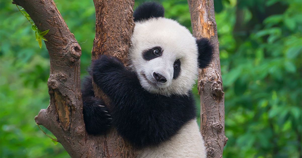 How I'm Finding Pandemic Solace In A Panda Cub