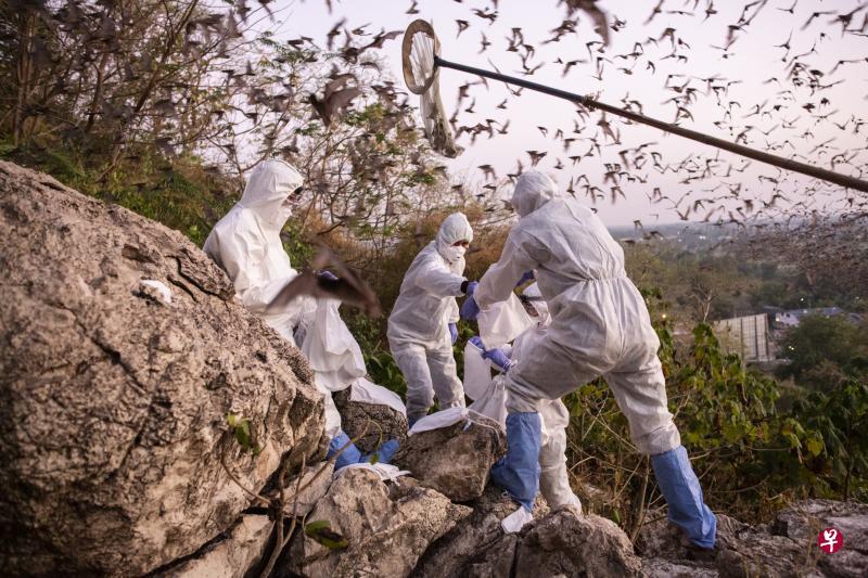 捕捉野生蝙蝠 泰国研究员盼为冠病病毒溯源