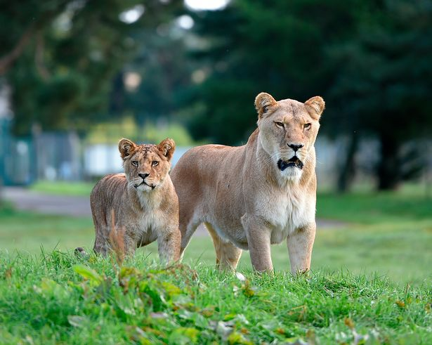 Families watch in horror as lions maul escaped monkey to death on safari park visit