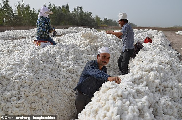More than half a million of Uighurs are forced to hand-pick cotton under 'coercive labour scheme' in China's Xinjiang, report claims