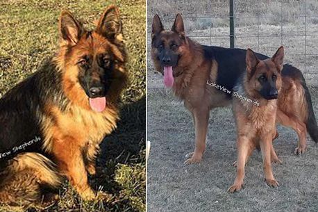 Boy, 14, killed by 'aggressive' German Shepherd six months after family bought dog
