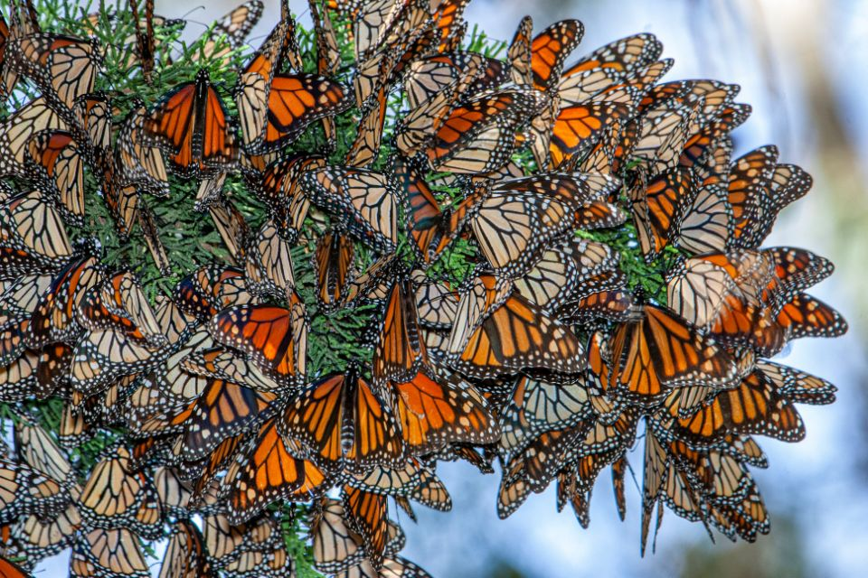 Scientists need your help spotting monarch butterflies this winter