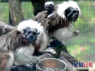 疫情下的动植物公园 濒危动物棉顶狨猴诞新生命