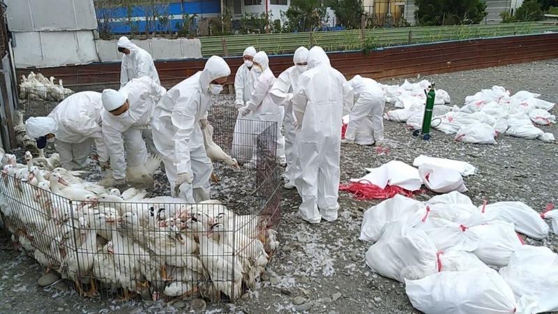 2肉鸭场染H5N5禽流感 · 9000多只鸭遭扑杀