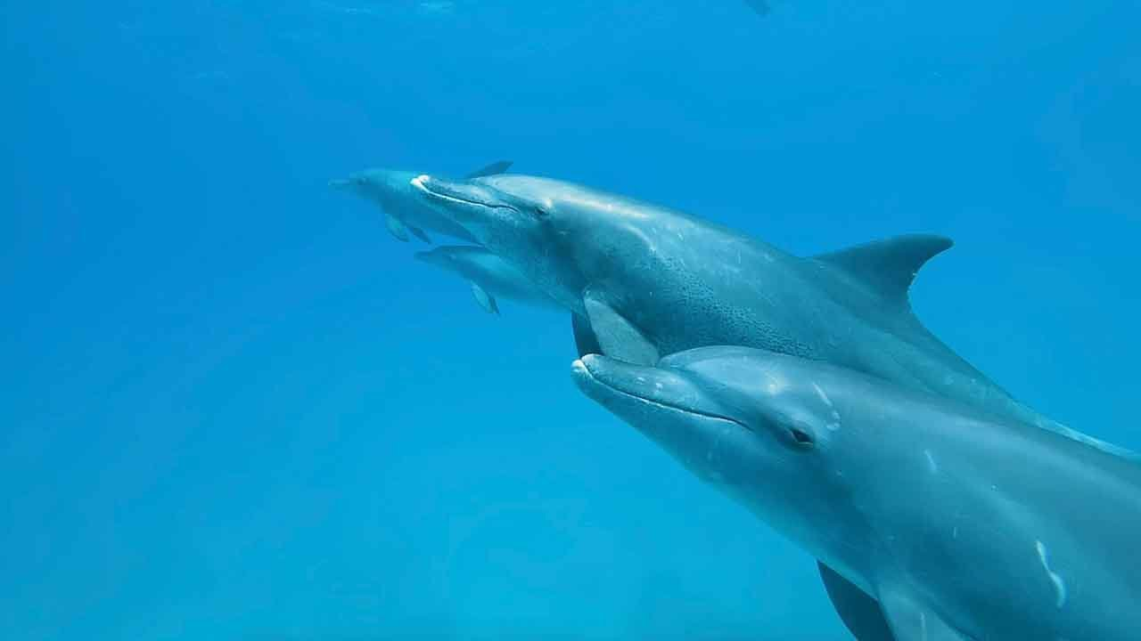 Pod Of Sleeping Dolphins Glide Through Ocean