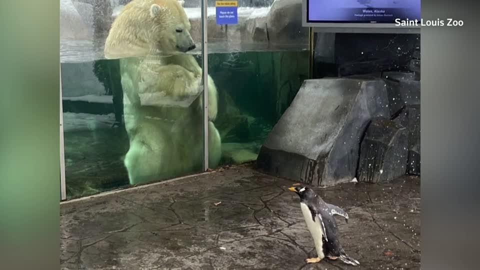 Penguins' visit to their polar bear neighbor