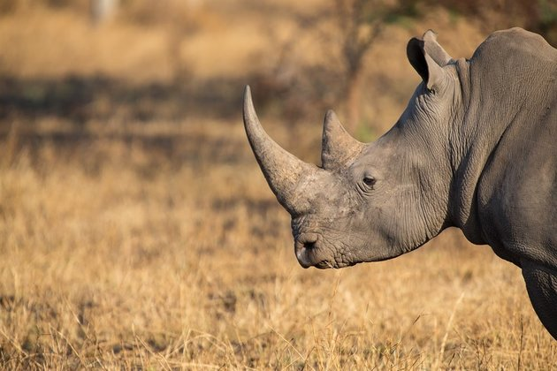 Rhino poaching flares up again after SA eases lockdown restrictions