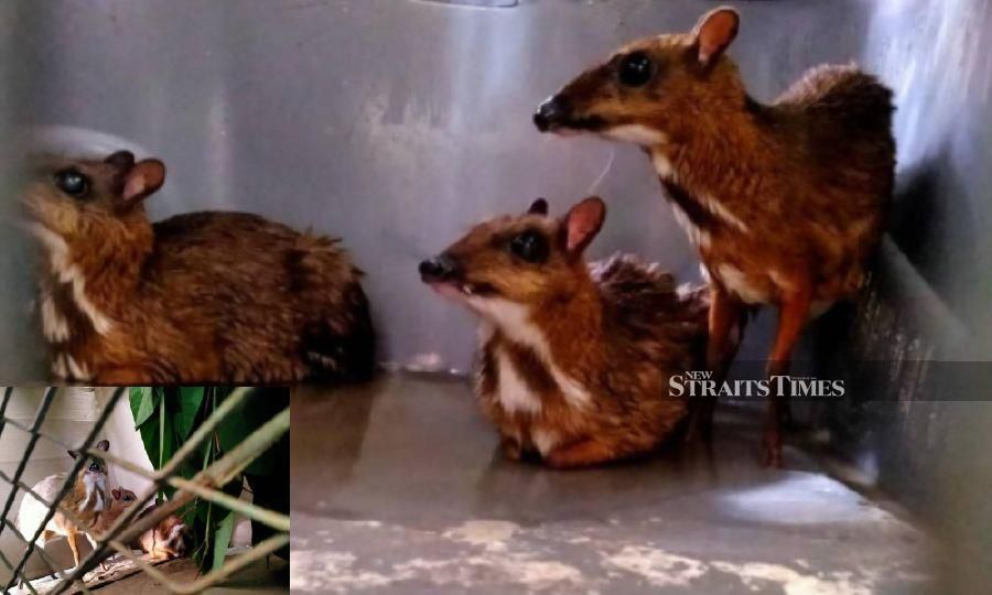 Langkawi woman held for keeping nine Java mouse-deer without permit