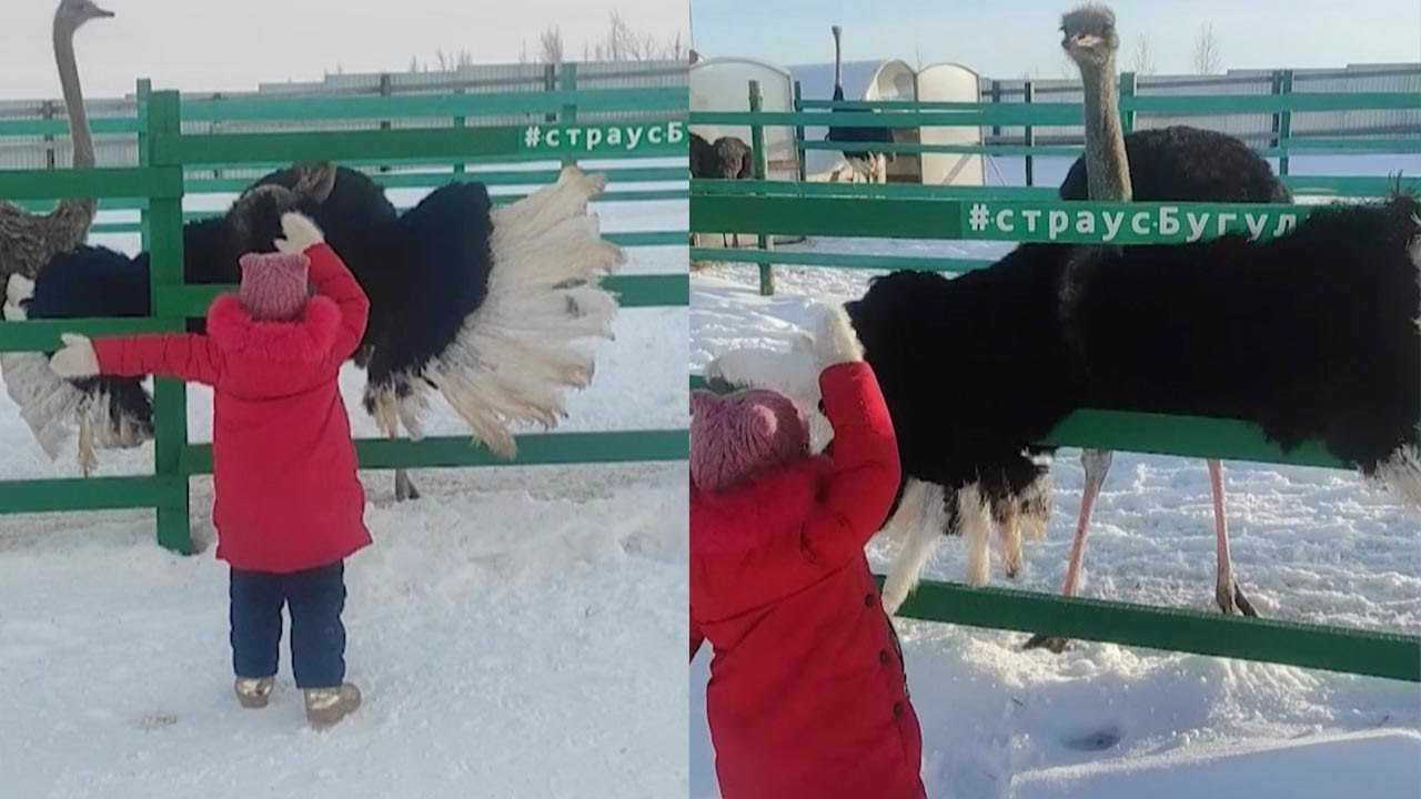 Little Girl Dances With Ostrich