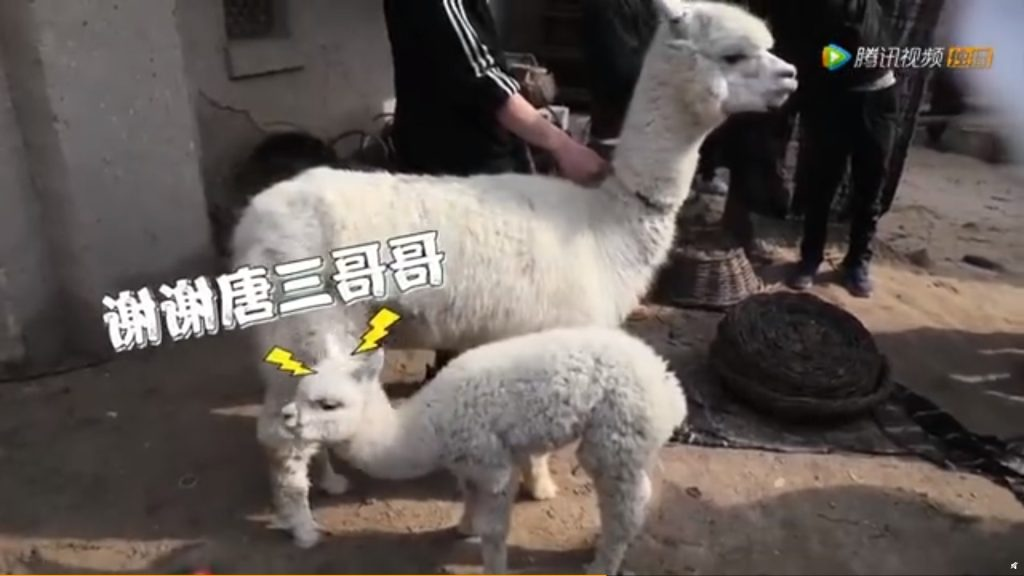 "Xiao Zhan Cuddles With Animals On Set ""Duoluo Continent"""