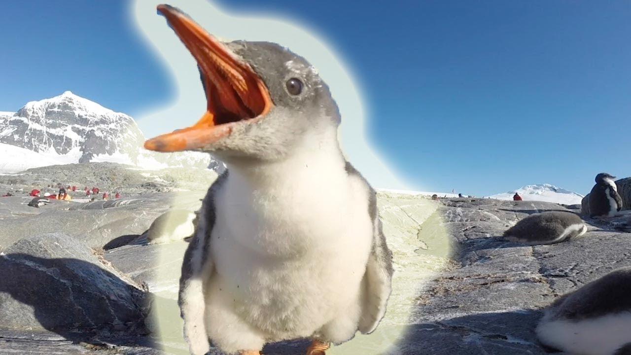 Adorable Gentoo Penguin Chicks Inspect Camera