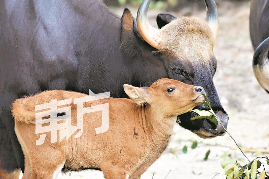 盗猎及栖息地遭破坏 马来野牛频临绝种