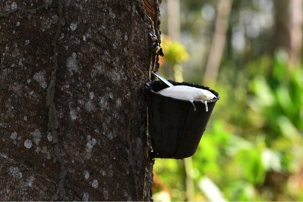 Govt activates rubber production incentive in Sabah, Sarawak
