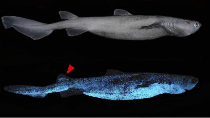 Glow-in-the-dark sharks found off New Zealand coast