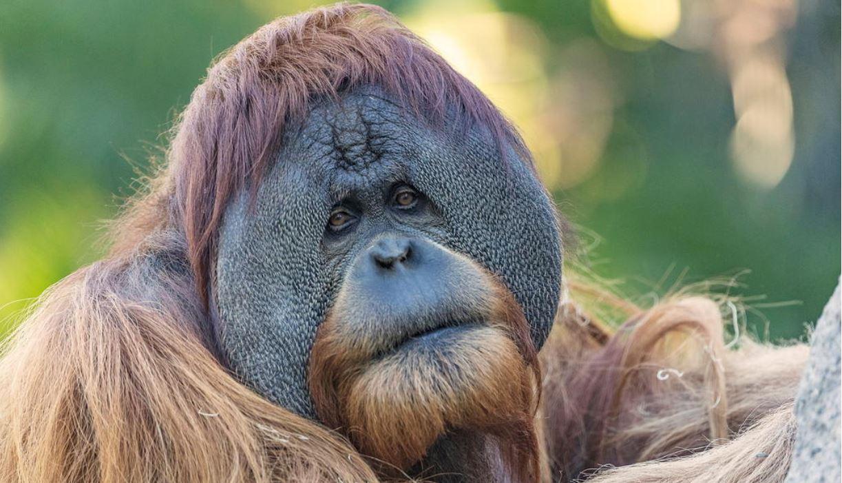 【冠状病毒19】全球首例!美国九只大猩猩接种疫苗