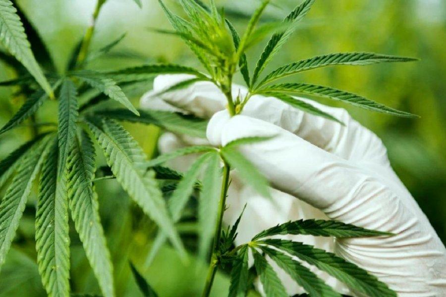泰国办展会力推大麻价值