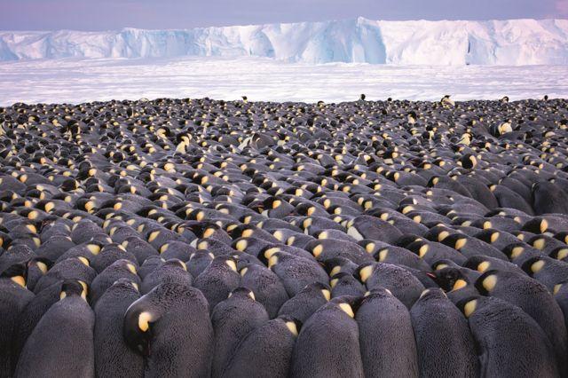 与企鹅共舞:一名摄影师和一万南极帝企鹅相伴的时光(组图)